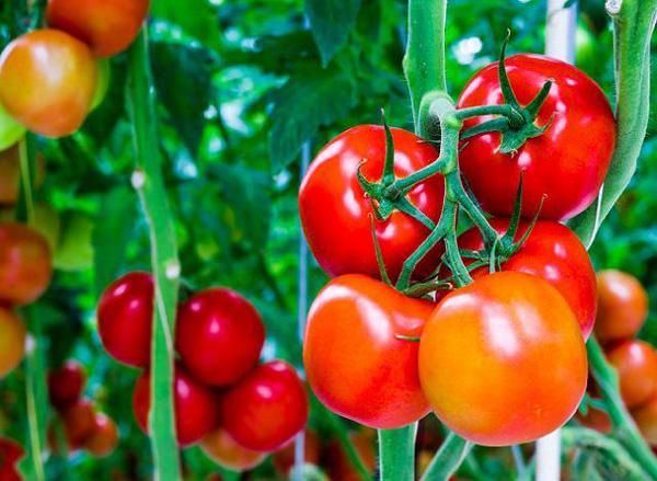 Nierensteine Ernährung Tomaten